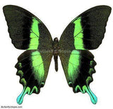 Majestic Green Swallowtail - 8x6 Riker Mount