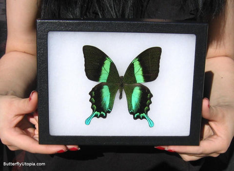majestic green swallowtail papilio blumei bargain quality