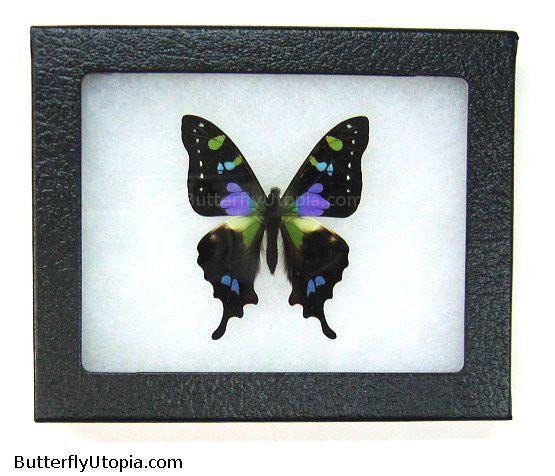purple spotted swallowtail butterfly bargain quality
