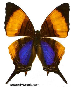 Marpesia Marcella Butterfly