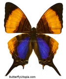 Violet Daggerwing Butterfly