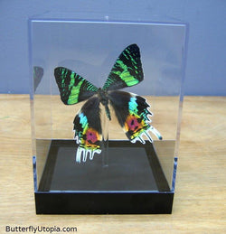 Sunset Urania Riphaeus