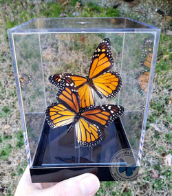 male female monarch butterflies