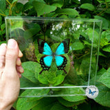 aqua blue green butterfly