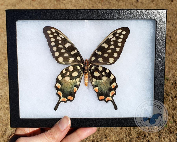 Bargain Quality - Madagascan Giant Swallowtail - 8x6 Riker Mount