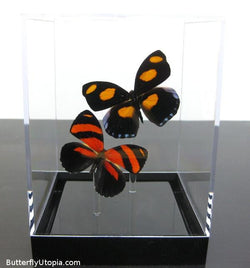 Orange Red Pair Butterflies