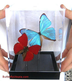 Pair Blue Red Butterflies