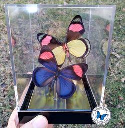 Pastel Papillion Pair (Upper & Underside) - 3D Tabletop Display