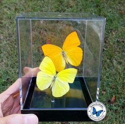 orange yellow butterflies