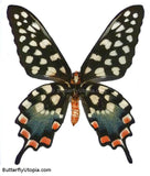 Madagascan Giant Swallowtail Butterfly