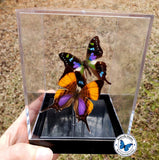 Real Purple Butterflies
