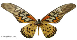Giant African Glider Butterfly