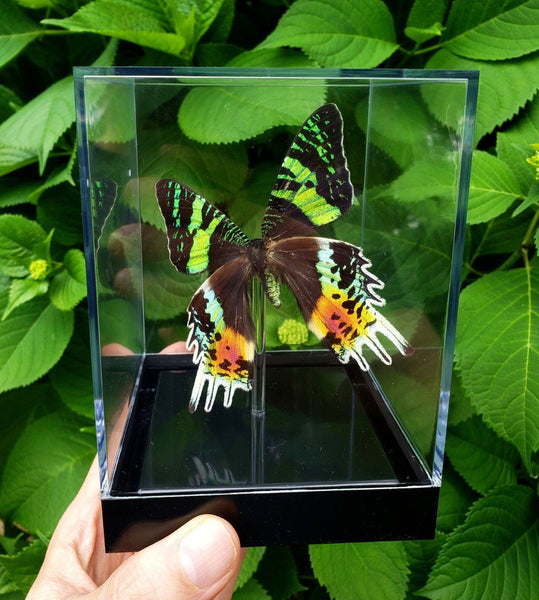 Discounted Sunset Moth - Tabletop Display