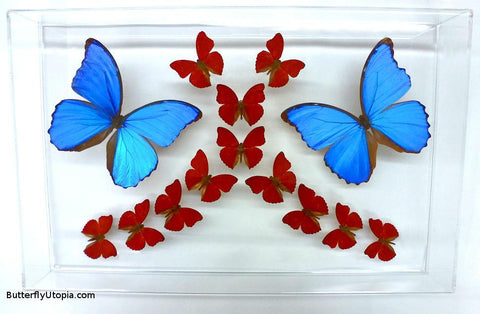 Crimson Blue Butterflies