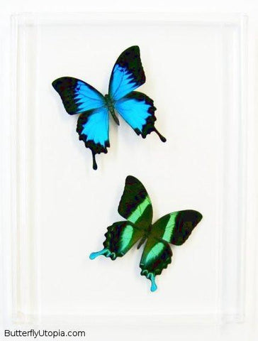 Blue Green Swallowtails Butterflies