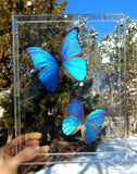amazon rainforest blue morphos