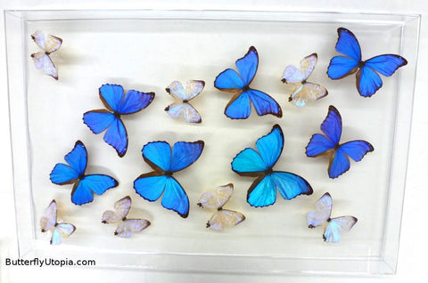 Blue Pearls Flight Butterflies