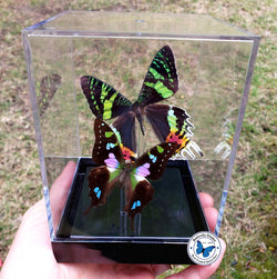 framed exotic butterflies