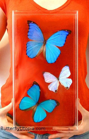 Three Morpho Butterflies