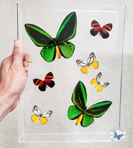 framed green birdwing butterflies