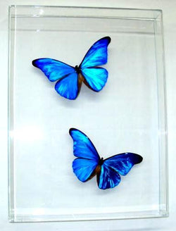 Blue Morpho Rhetenor Butterflies
