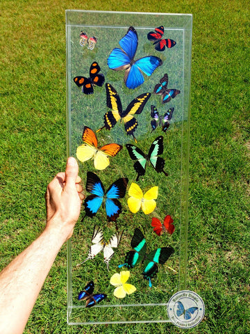 long butterfly frame art