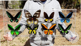 mounted birdwing butterflies