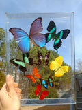 real preserved butterflies