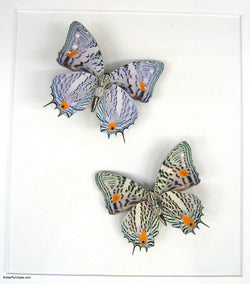 Clown Butterflies