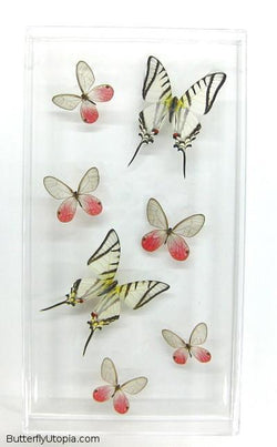 Zebra Clearwings Butterflies