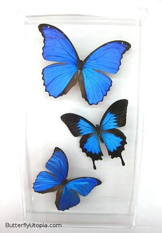 Three Bue Exotic Butterflies