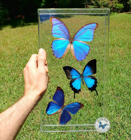 blue butterflies framed