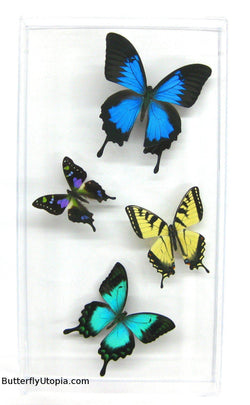 Four Swallowtail Rainforest Butterflies