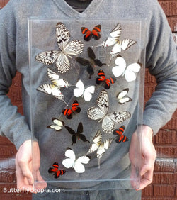 Seventeen Flight Black White Red Minimalist Butterflies