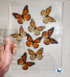 real monarch butterflies