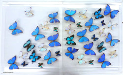 real framed blue butterflies