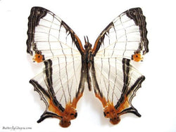 Map Butterfly - unspread (wings closed) - SET OF TWO