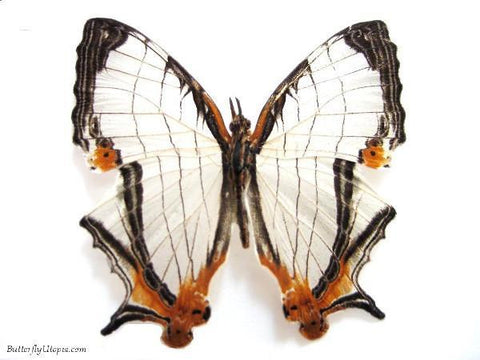 Map Butterfly dried
