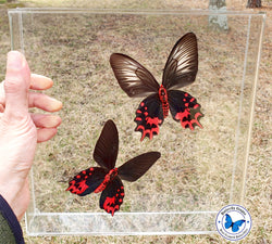 Red Butterflies