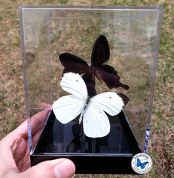 framed black white butterflies