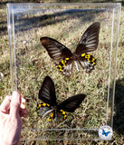 yellow black birdwings