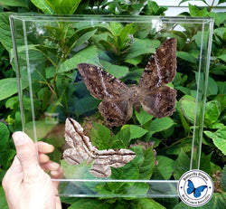 Framed Black witch moth