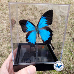 Blue Mountain Swallowtail - 3D Tabletop Display