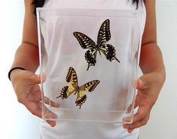 chinese swallowtails