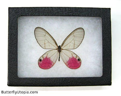 framed pink glasswing butterfly