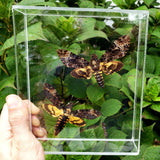 Death Head Moth Set #4 - Two Different Species - 7x8  - 3D acrylic frame