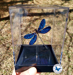 Sparkling Blue Damselfly- 3D Tabletop Display