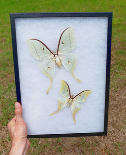 indian moon moths