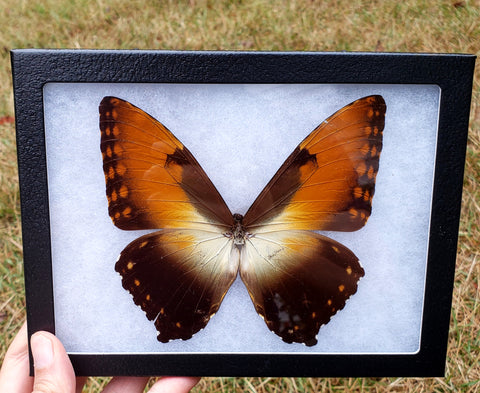 Discount Quality -  Sunset Morpho - 8x6 Riker Mount #1