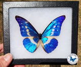 shiny blue morpho